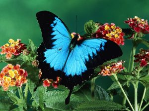 Adorable Black Blue Butterfly