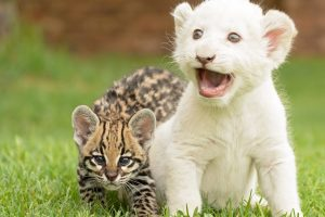 Baby Tiger And Lion