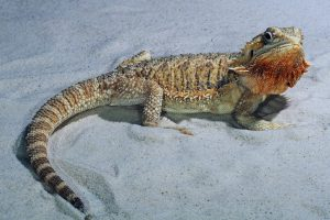 Bearded Dragon In The Sand