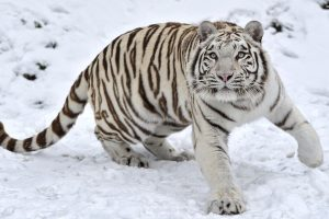 Big White Tiger