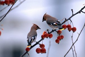 Birds And Berries
