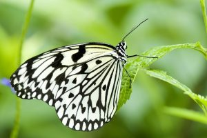 Black And White Butterfly On The Leaf