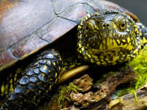 Black Yellow Turtle
