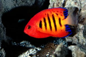 Bright Red Fish