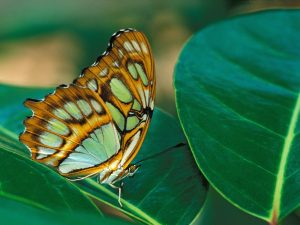 Butterfly With Green Spots