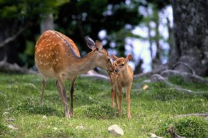 Fawn And Mother