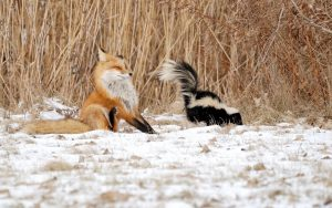 Fox And Skunk