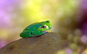 Green Frog On The Rock