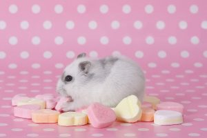 Hamster Loves Sweets