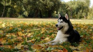 Hasky In The Leaves
