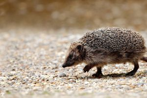 Hedgehog Crossing The Road
