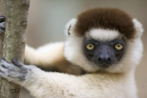 Lemur Eyes Other