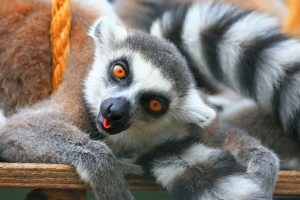 Lemur On A Vacation