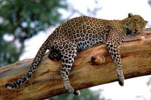 Leopard On Vecation