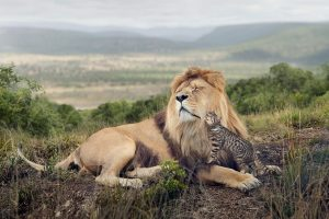Lion Family 2 HD