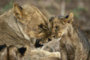 Lions Family
