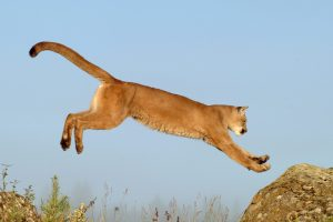 Lion In The High Jump