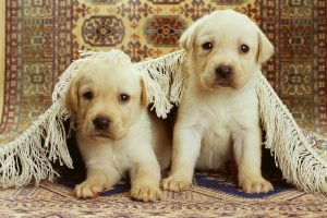 Little Retrivers
