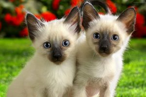 Little Siamese Kittens
