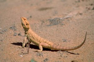 Lizard On Desert Sun