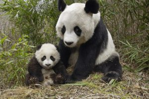 Mother And Little Panda