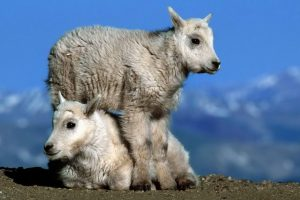 Mountain Goats HD