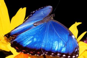 Nice Blue Butterfly On Yellow Flower