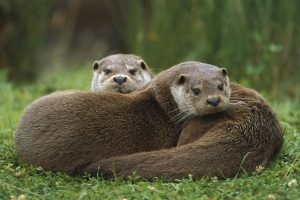 Otters Family
