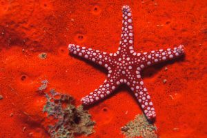 Perfect Red Starfish