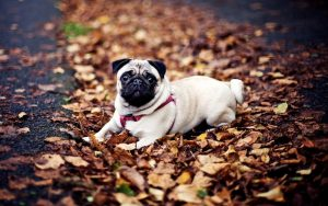 Pug In The Leaves