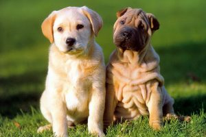 Puppies On A Sunny Field