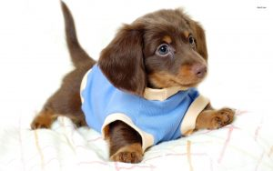 Puppy In A Blue Sweater