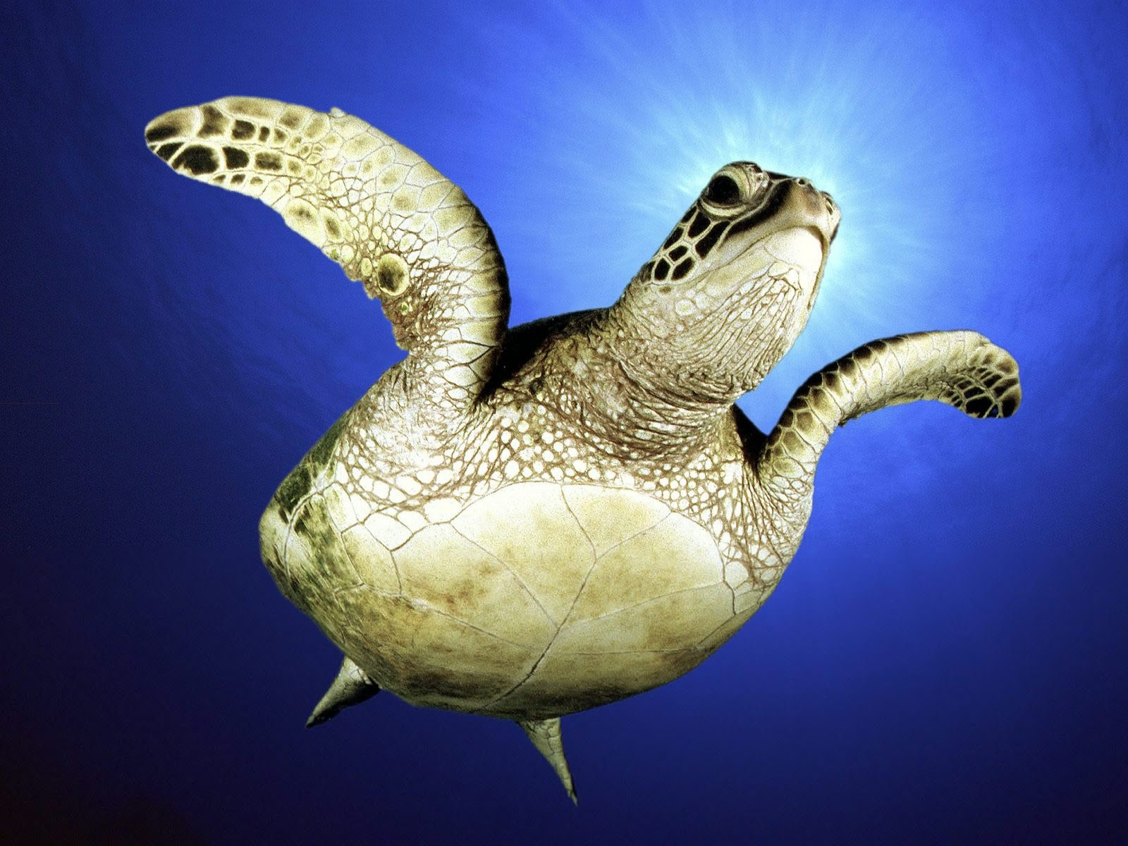 Sea Turtles From Near Wallpaper 1600x1200 px