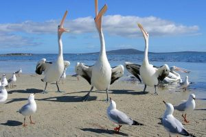 Seagulls And 2 Pelicans