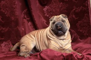 Sharpei On Red