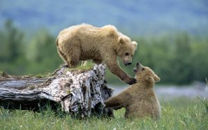 Grizzly (brown) bear cubs interacting on fallen tree trunk , Alaska