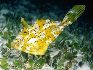 Stretched Yellow Fish