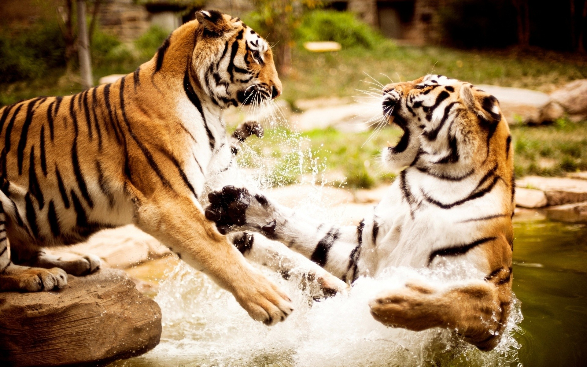 Tigers Playing Wallpaper 1920x1200 px