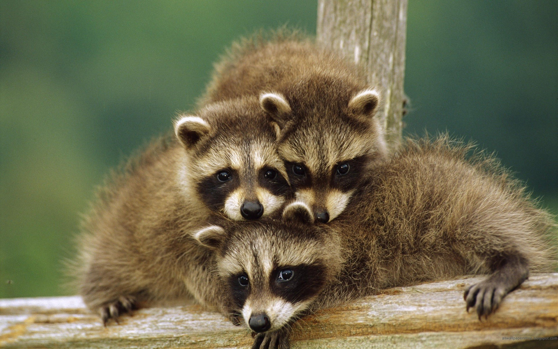 Together Is Better – Raccoons Wallpaper 1920x1200 px