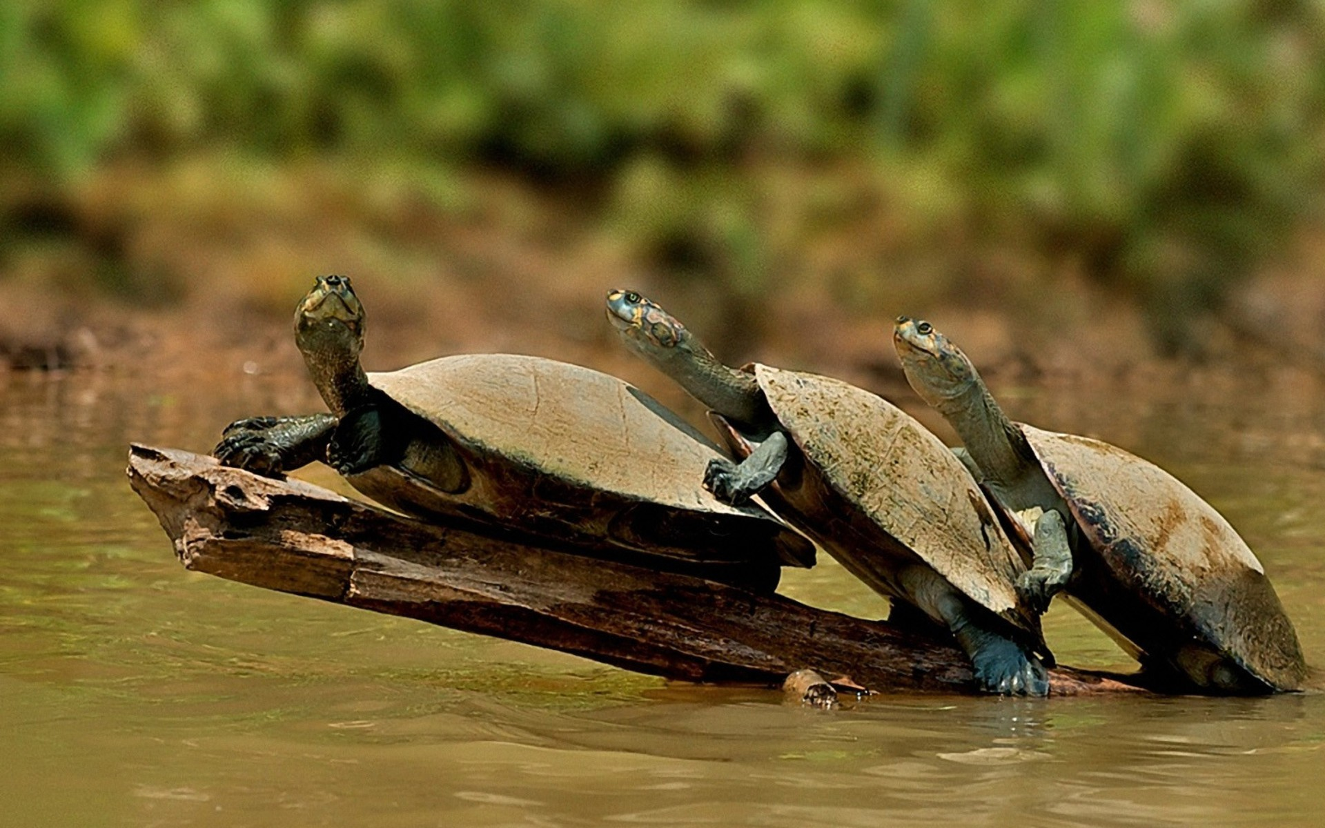 Turtles In A Row Wallpaper 1920x1200 px
