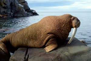 Walrus On Rock