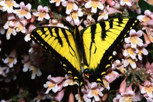Yellow Black Buterfly