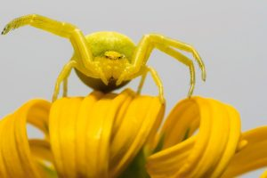 Yellow Spider