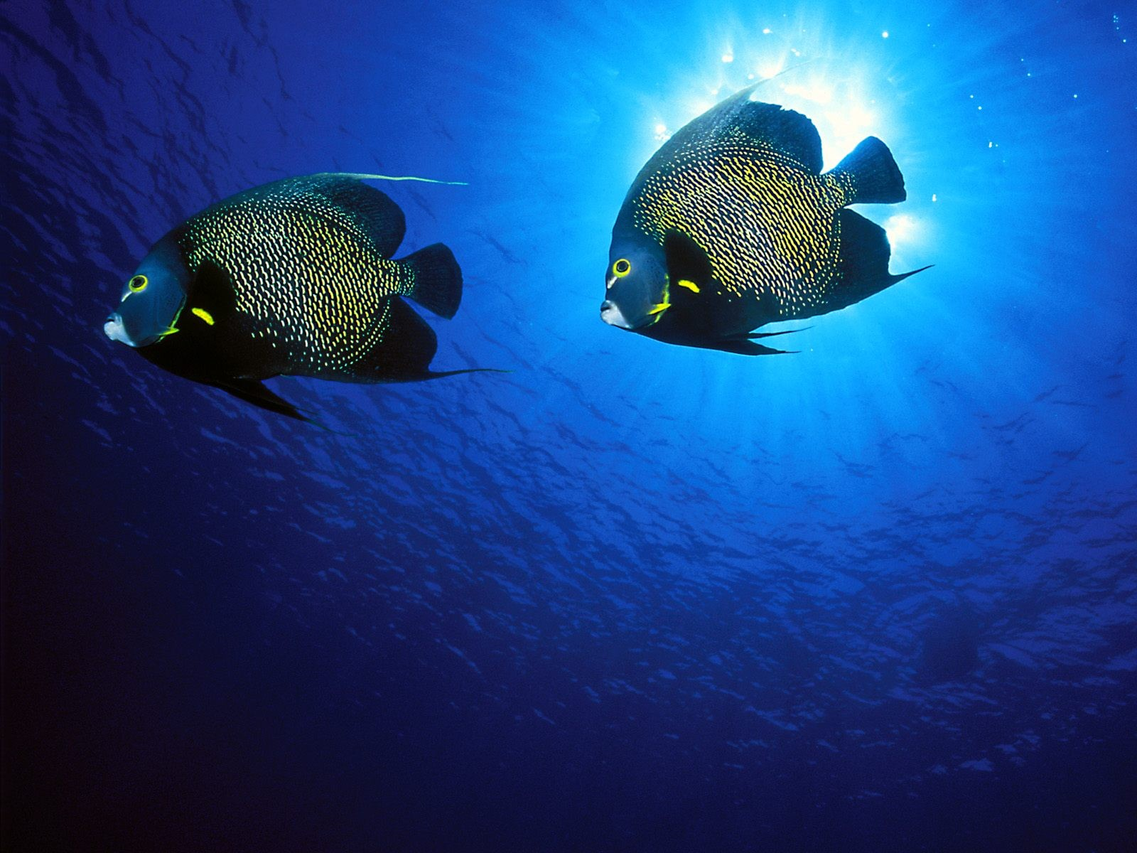 Yellow Spotted Fish Wallpaper 1600x1200 px