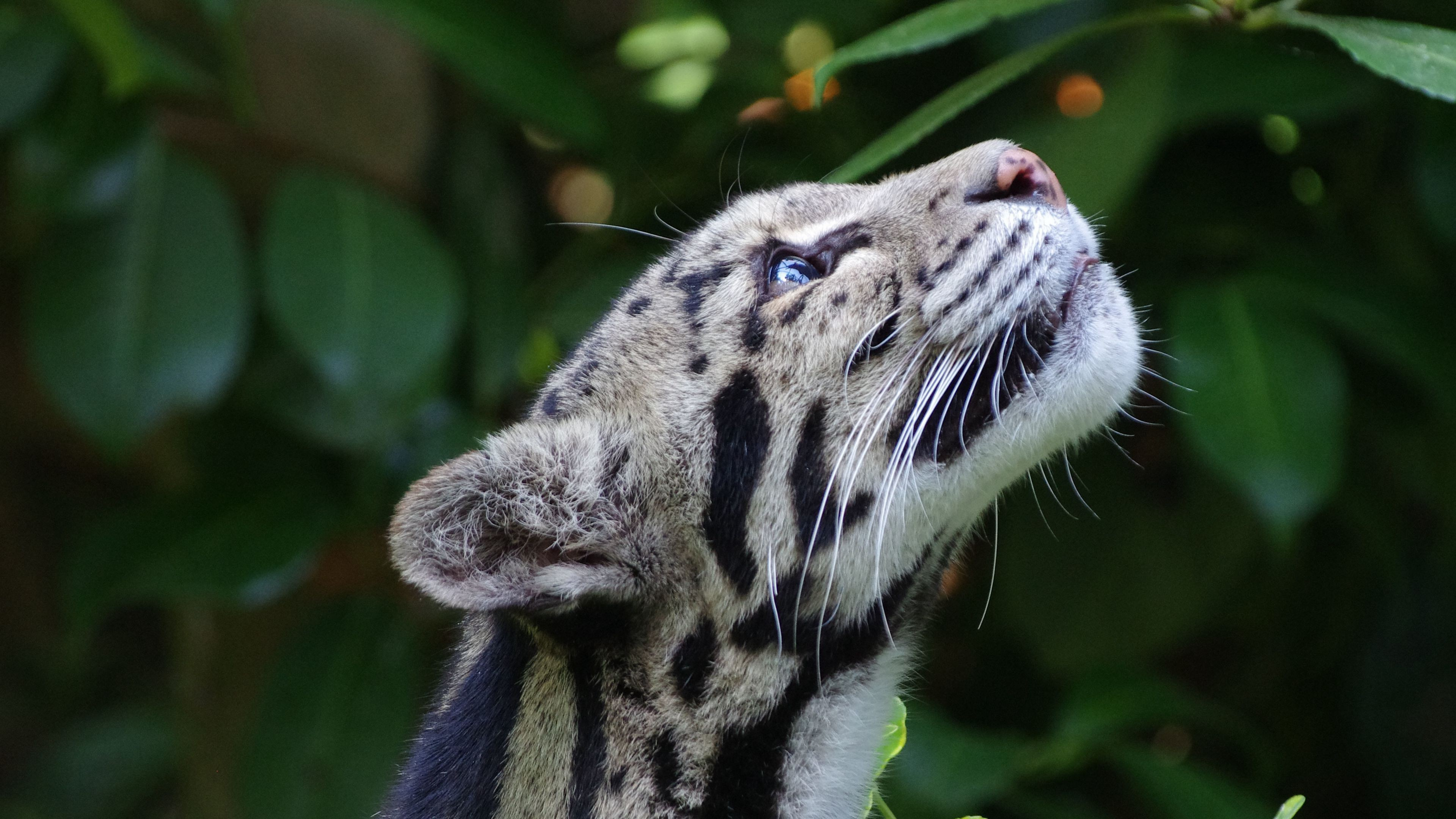 Clouded Leopard Wild Cat Snout Spotted Wallpaper 3840x2160 px